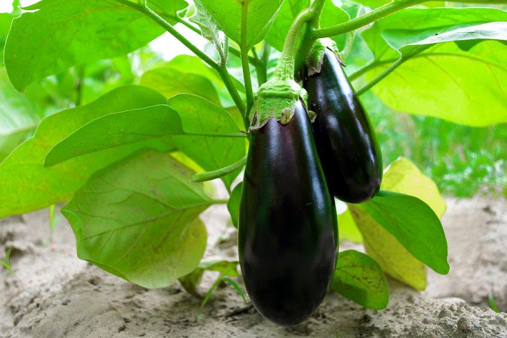 Auberginen düngen – So machen Sie es auf die natürliche Art und Weise