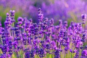 Lavendel düngen - Weniger ist manchmal mehr