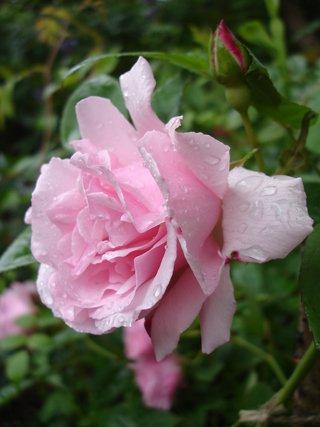 Rosafarbene Kletterose Kathleen Harrop