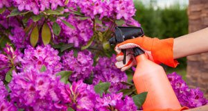Azaleen: Krankheiten und Schädlinge erkennen und bekämpfen