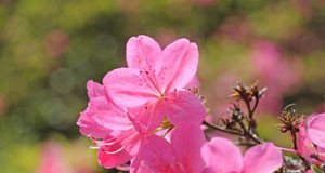 Azaleen vermehren - So einfach geht's