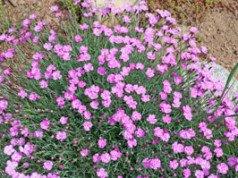 Federnelken pflanzen - So gedeihen die Pflanzen richtig