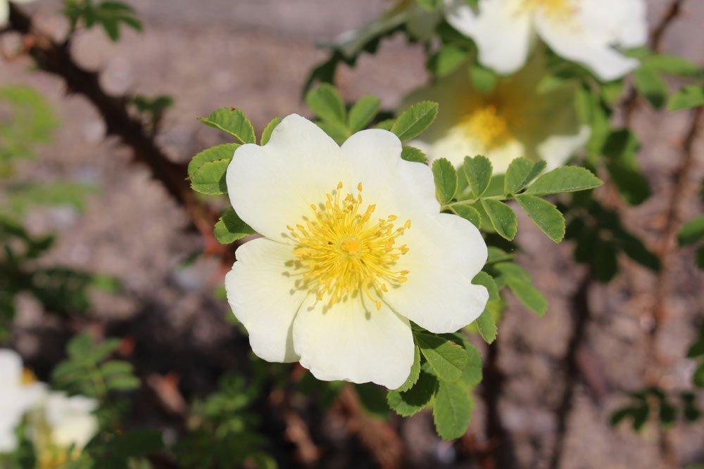 Blüte der Stacheldrahtrose