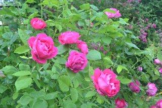 Rosen ohne Stacheln – Das sind unsere Favoriten!