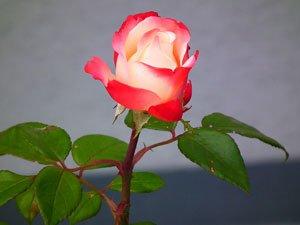 """Weiß-rote Rose """"Nostalgie®"""""""