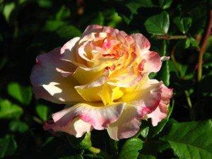 """Blüte der Edelrose """"Aquarell®""""."""