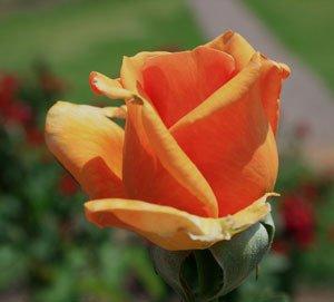 """Die Edelrose """"Tea Time®"""" schmückt Garten und Vase."""