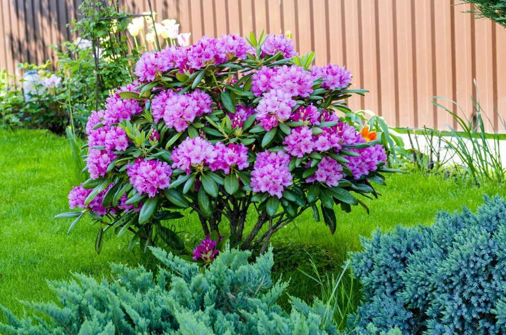 Azaleen Standort: Dort fühlen sich die Pflanzen am wohlsten