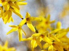 Blühender Goldglöckchenzweig
