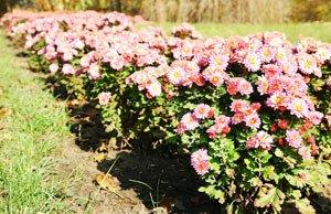 Chrysanthemen mit Stecklingen vermehren - So einfach geht's