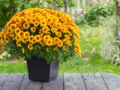 Winterharte Chrysanthemen -