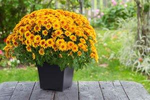 Winterharte Chrysanthemen - Das sollten Sie wissen
