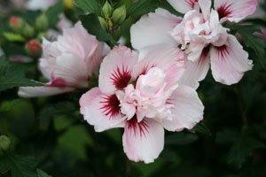 Garten Hibiskus Pflanzen Tipps Zu Standort Boden Pflanzzeitpunkt