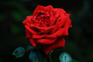 Rose Rose Ingrid Bergman.