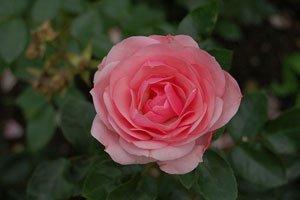 Rosafarbende Roseblüte