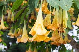 Gelbe Blätter entstehen oft durch Wassermangel