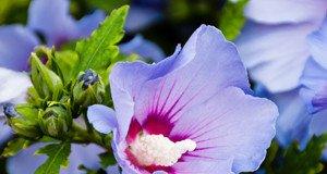 Blaue Hibiskusblüte