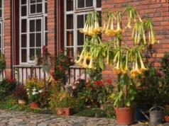 Engelstromepete pflanzen