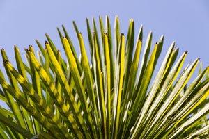 Braune Blätter sind ein Zeichen für falsche Pflege