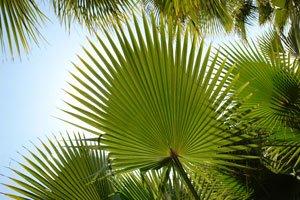 Fächerpalmen lassen sich gut über Samen vermehren