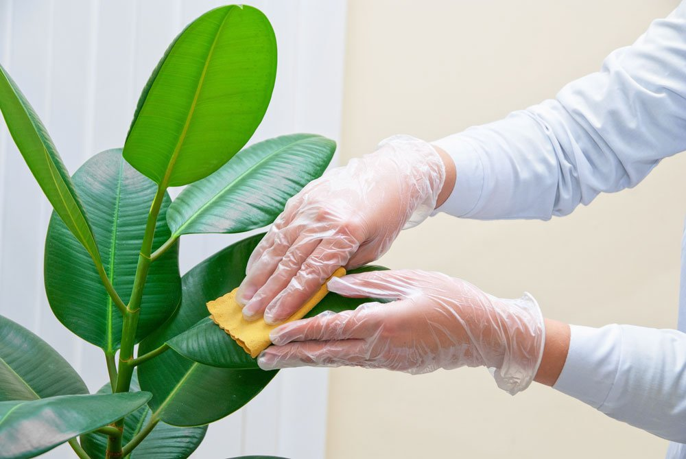 Gummibaumblätter reinigen