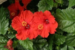 Hibiskus - Blätter werden gelb Ursachen und Tipps zur Abhilfe