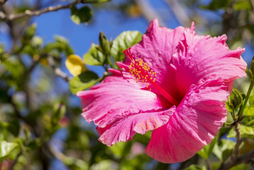 Hibiskus verliert Blätter