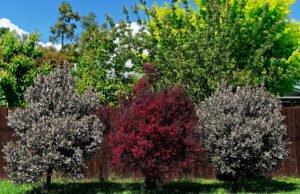 Manuka Pflanze anbauen und pflegen