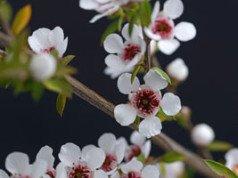 Manuka Pflanze richtig anbauen und pflegen - So funktioniert's