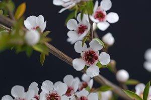 Manuka Pflanze richtig anbauen und pflegen - So wird's gemacht