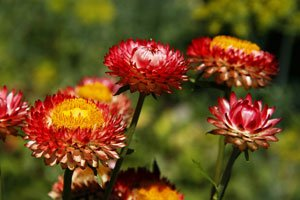 Es gibt auch mehrjährige Strohblumen