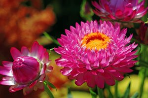 Strohblumen lassen sich über Samen vermehren