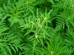 Ambrosia Pflanze erkennen und bekämpfen – So werden Sie das Allergie-Unkraut wieder los