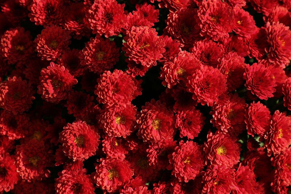 Chrysantheme Brockenfeuer
