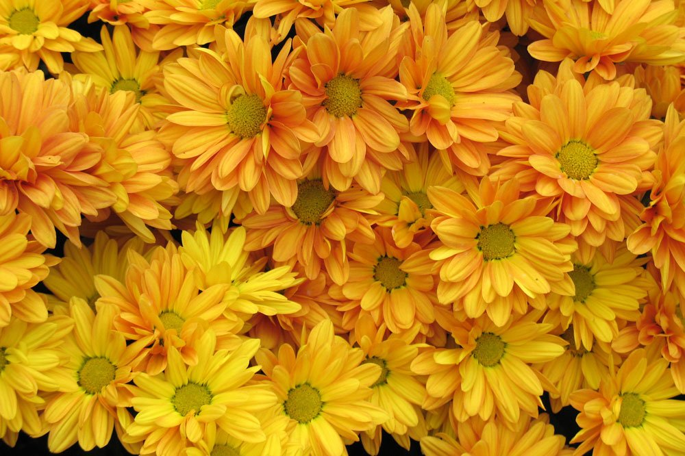Chrysantheme Goldmarianne