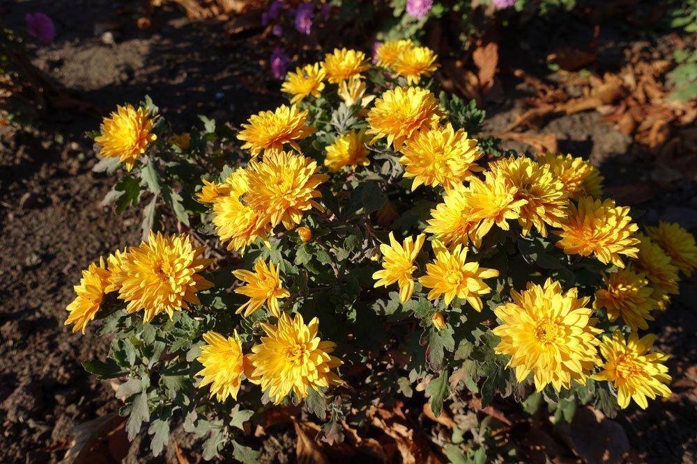 Chrysantheme Kleiner Bernstein
