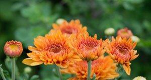 Chrysanthemen: Schädlinge und Krankheiten erkennen und vermeiden