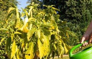 Engelstrompete bekommt gelbe Blätter