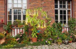 Engelstrompete umpflanzen