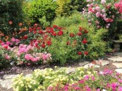 Erde für Rosen