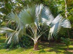 Fächerpalme pflanzen