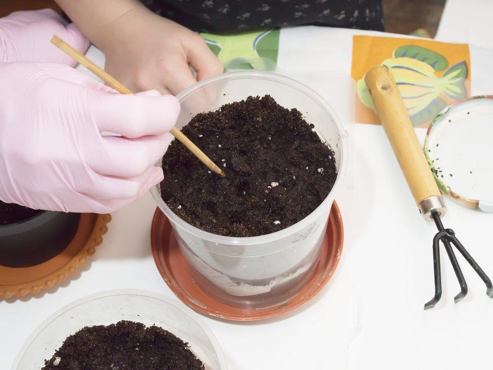 Feigenkaktus aus Samen ziehen