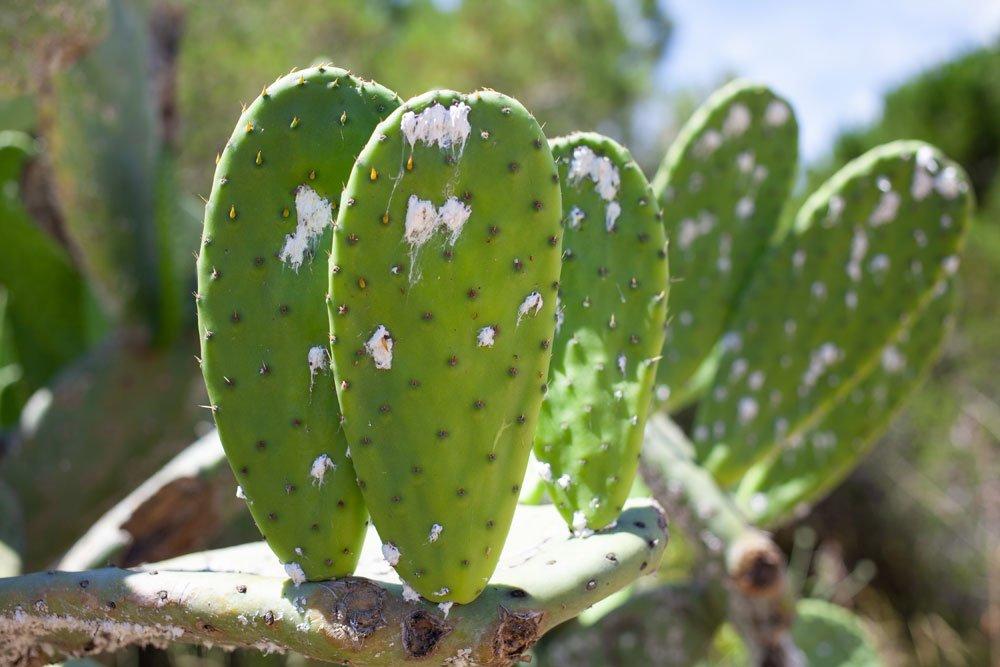 Feigenkaktus: Krankheiten und Schädlinge