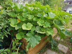 Gurken im Hochbeet anbauen
