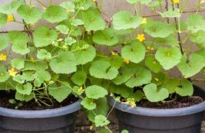 Gurken im Topf pflanzen