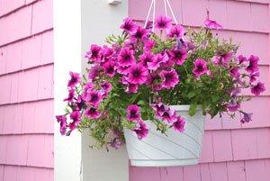 h ngeampel bepflanzen geeignete pflanzen und hinweise. Black Bedroom Furniture Sets. Home Design Ideas