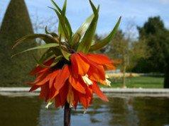 Kaiserkronen vermehren – So erhöhen den Blütenbestand
