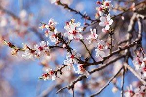 Mandelbäumchen blühen ab April