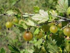 Stachelbeeren vermehren - So geht's