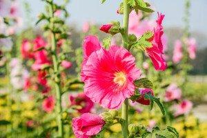 Stockrosen im Kübel halten: Blumenpracht für Terrasse und Garten